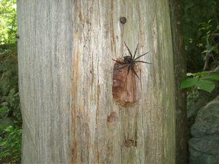 ConsMarsh-Spider